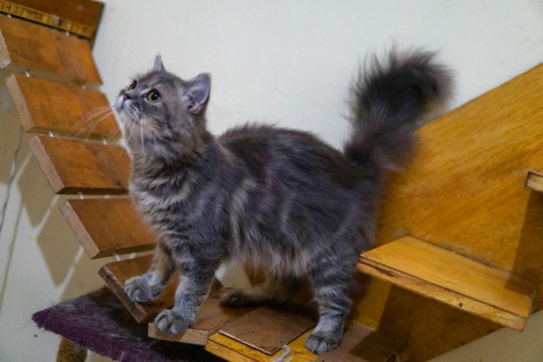 Unduh 76+  Gambar Kucing Persia Warna Abu Abu Paling Bagus Gratis