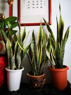 Air puritgllng plant each$25
