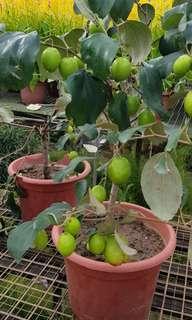 Fruit Plant - Ziziphus Mauritiana / Bidara, Chinese date, Chinese Jujube, cottony Jujube, desert apple, Indian cherry, Indian date, Indian Jujube, Indian plum, jujuba, Malay Jujube🍒 (China)