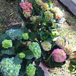 Plant 绣球花 Hydrangea