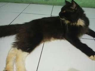 Kucing Persia MIX Maincoon JANTAN