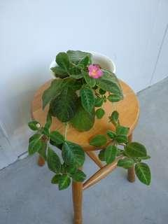 Episcia with Pink Flowers