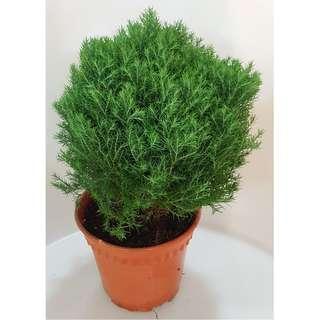 Goldcrest Cupressus Round Topiary (Dark Green Leaves)
