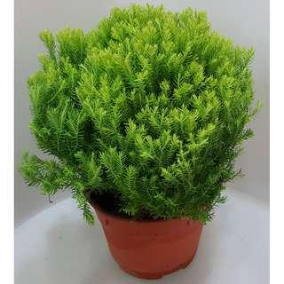 Goldcrest Cupressus Round Topiary (Yellowish Green Leaves)