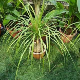 Nolina recurvata (Ponytail Palm)
