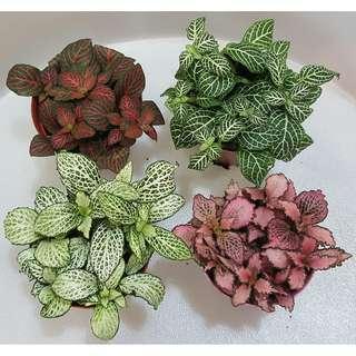 Fittonia (Nerve Plant) Mix
