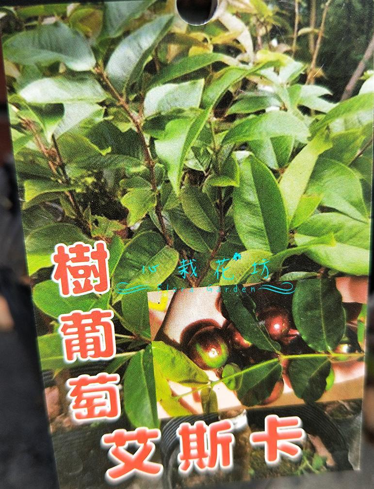 心栽花坊-艾斯卡樹葡萄/四季樹葡萄/樹葡萄品種/嫁接苗/水果苗/售價700特價600