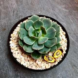 🍊Auspicious Succulent plant decor for Chinese New Year/ CNY/ Birthday/ House warming/ Event Gifts- Real Plant Succulents/ Cactus Plant - LIMITED EDITION!!!