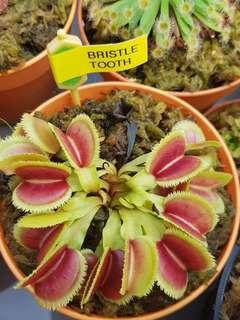 SG Venus Fly Trap sundew pitcher plants Buy 2 get 1 free