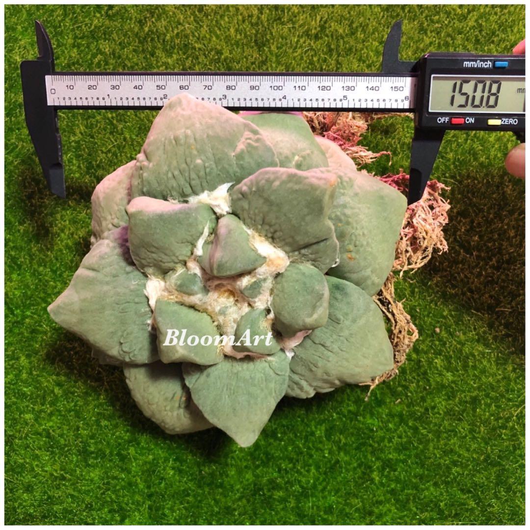 Succulent! - Ariocarpus Frumdosus