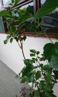 Fruiting Mulberry Plants
