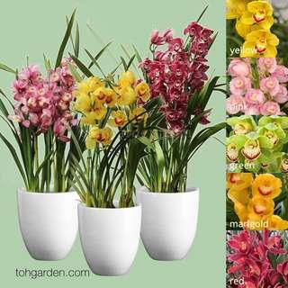 Korean Cymbidiums Assorted Colours | Ornamental Orchid Plants
