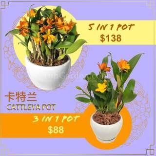 富贵平安 卡特兰 CNY 2019 Imported Cattleya (Small Flower)