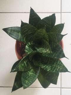 Rose shape snake plants 心心相印