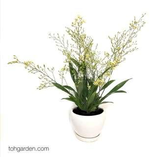 Oncidium Twinkle (Pale Yellow)   Live Orchid Plant