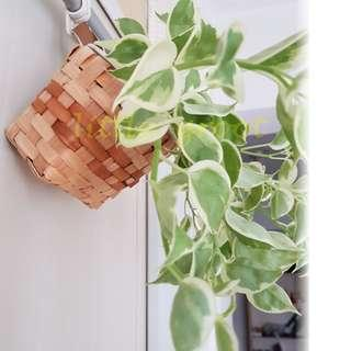 Indoor plant/ hanging plant/ cupid peperomia
