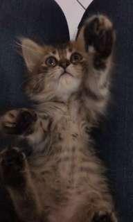 Kucing Semi Persia