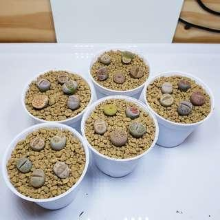 Lithops (5 in a pot)