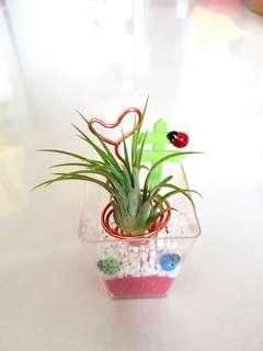 Air Plant for office gift!