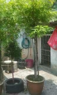 Bamboo plants >5ft,  1 for RM168