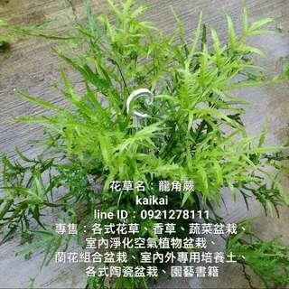 龍角蕨/喜歡蕨類植物者,一定要種植龍角蕨