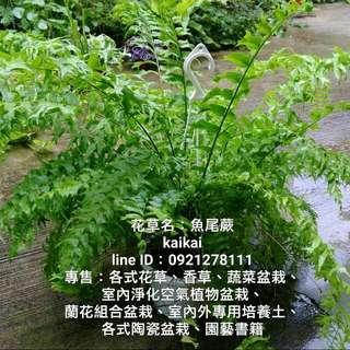 魚尾蕨/蕨對要買魚尾蕨,種植魚尾蕨,讓你年年有餘