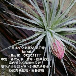 空氣鳳梨:棉花糖/買一棵準備開花的空氣鳳梨陪你過年