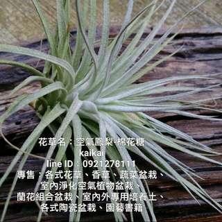 空氣鳳梨:棉花糖/買一棵空氣鳳梨陪你旺旺一整年