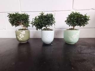 Teacup bonsai murraya