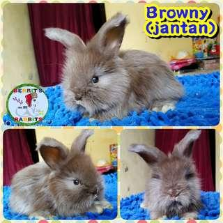 Kelinci english anggora rabbit shopp