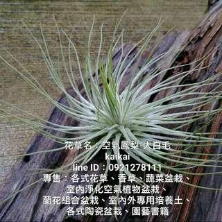 空氣鳳梨:大白毛/療癒系植栽