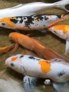 3 Ikan Koi seri F3 Nagatawakoisian ukuran 20 cm ( sehat)