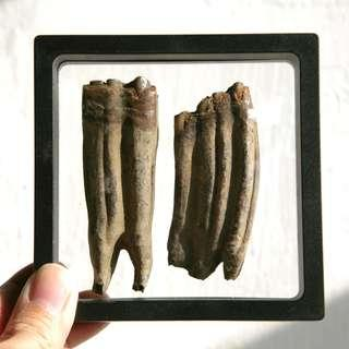 美洲更新世馬化石Equus complicatus Fossil Horse molars teeth fossils ! Pleistocene更新世 一套2顆連標本盒