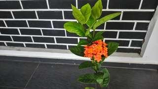 Ixora, orange flowers