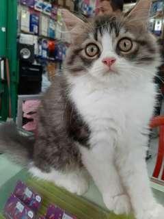 Kucing Persia Kitten 3 Bulan Jantan