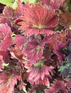 'Hurricane Jenni' Coleus Blumei Flower Seeds