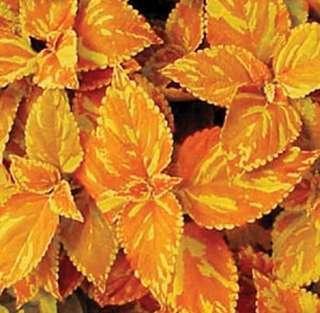 Coleus Blumei 'Freckles' Flower Seeds...