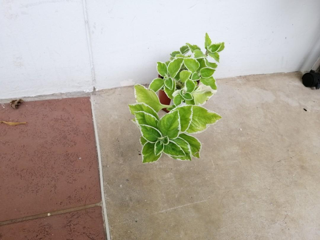 Ready Stock - Variegated Indian Borage / Mexican Mint