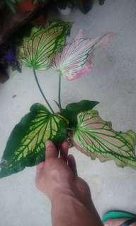 Caladium Thai pink queen