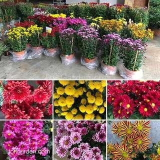 Chrysanthemum plant 23CM Pot 2-3 feet tall 菊花