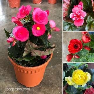 Begonia Rose 海棠玫瑰 15CM Pot
