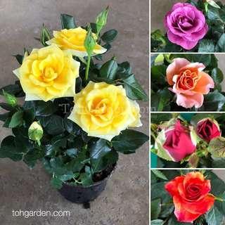 Mini Rose 15CM Pot