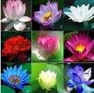 Bowl/Pond Lotus Seeds Mix Colours