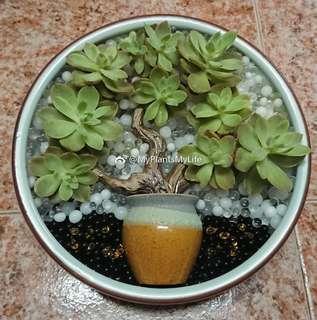 非賣品-新年水種多肉植物拼盤-面紗 Succulent