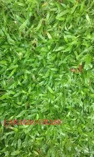 Carabao grass and frog grass for sale