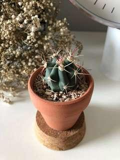 Rare Cactus - Long Thorn