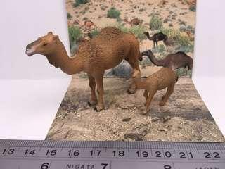世界自然動物Asia Oceania: 駱駝親子