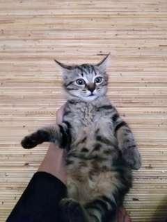 Gratis Adopt 2 kucing Anggora campur