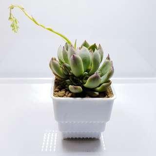 Succulent Care (Free!)