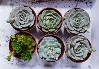 Succulents (Big)